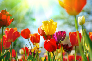 AA_PaloAlto_Spring-Market-BigTulips